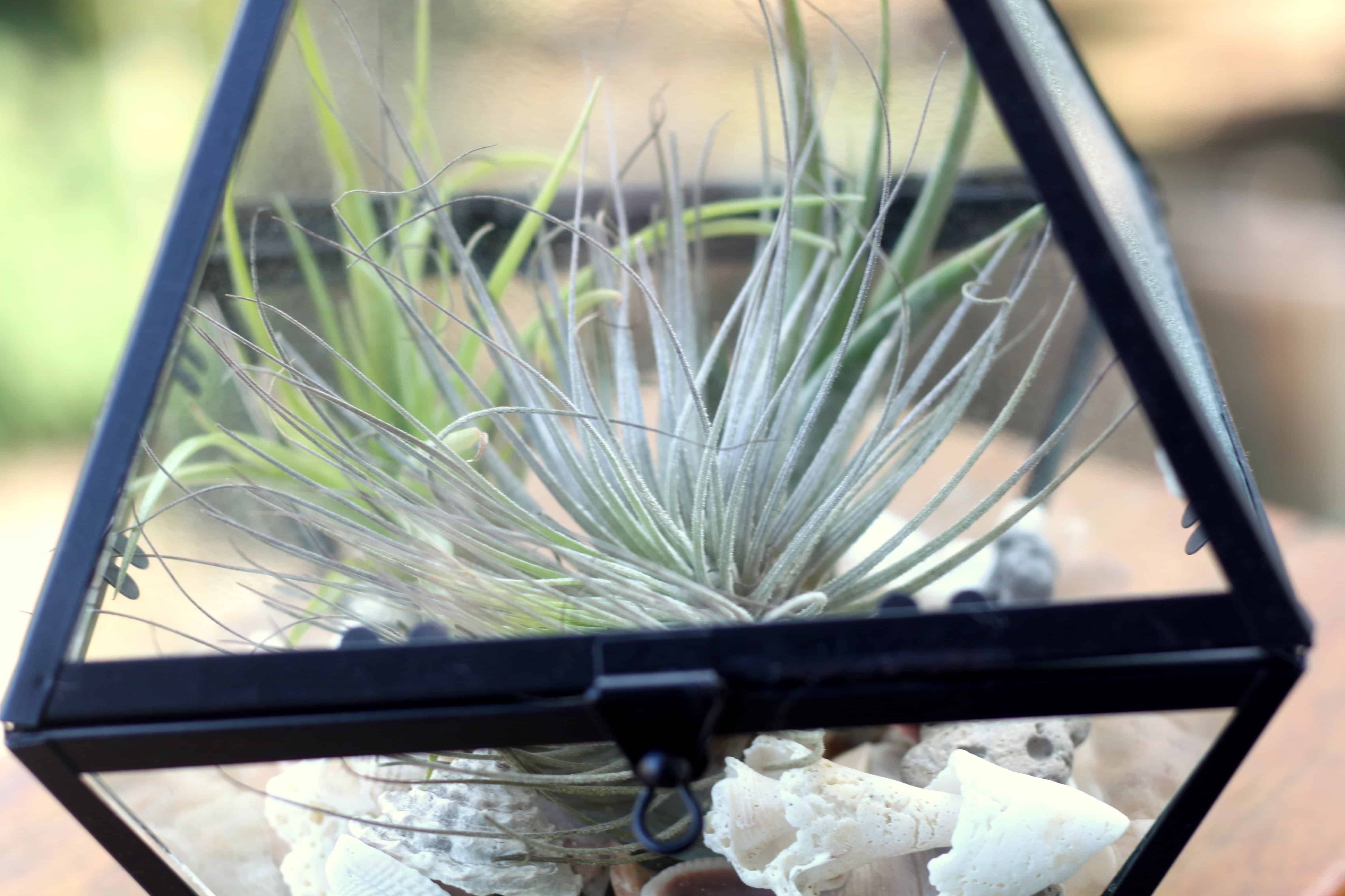 how to take care of air plants easy air plant lanterns hairs out of place. Black Bedroom Furniture Sets. Home Design Ideas