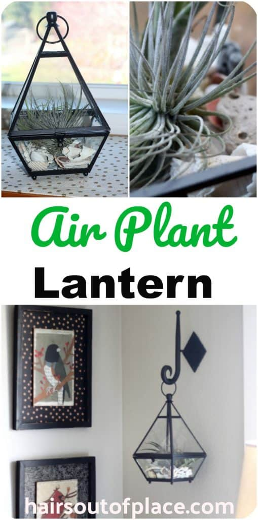 How To Take Care Of Air Plants Easy Terrarium Idea Hairs Out Of